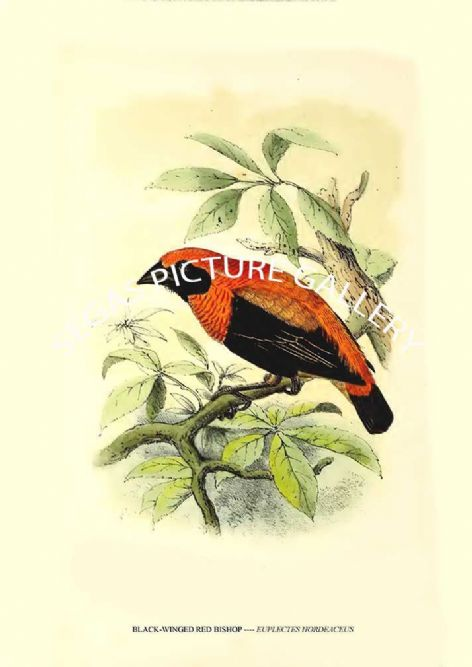 Fine art print of the BLACK-WINGED RED BISHOP ---- EUPLECTES HORDEACEUS by J G Keulemans (1869-76)